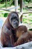 Allattamento al seno dell'orangutan del bambino e della madre Fotografie Stock Libere da Diritti