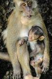 Allattamento al seno della scimmia Fotografia Stock