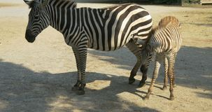 Allattamento al seno della zebra del bambino video d archivio