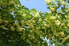 Alldeles av blommor i lövverket av linden mot himlen royaltyfri fotografi