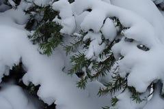 Alldeles av snö på filialer av idegransträ fotografering för bildbyråer