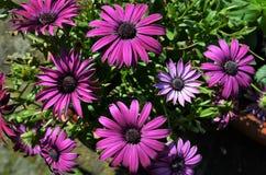 Alldeles purpurfärgade och violetta uddetusenskönablommor arkivfoton