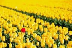Alle gelben Tulpen ein Rot Stockfotografie