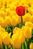 Alle gelben Tulpen ein Rot Stockbild