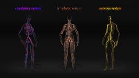 Alle menselijk lichaamssystemen vector illustratie