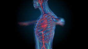 Alle menselijk lichaamssystemen Overgangslichaam - het vaatstelsel - lichaam royalty-vrije illustratie