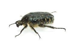 Alleculid beetle Stock Photo