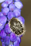 Alleculid Beetle / Tropinota (Epicometis) hirta Stock Photos