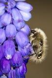Alleculid Beetle / Tropinota (Epicometis) hirta Stock Image