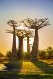 Allee der Baobabs mit einem erstaunlichen Sonnenuntergang lizenzfreie stockfotos