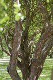 Allee drzewa Zdjęcie Stock