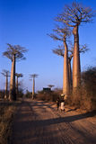 Allee du Baobab stockfoto