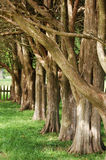 Allee of trees in afternoon Royalty Free Stock Images