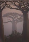 Allee von Baobabs an der Dämmerung in der allgemeinen Ansicht des Nebels madagaskar Lizenzfreies Stockbild