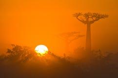 Allee von Baobabs an der Dämmerung in der allgemeinen Ansicht des Nebels madagaskar Lizenzfreie Stockfotografie