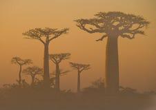 Allee von Baobabs an der Dämmerung in der allgemeinen Ansicht des Nebels madagaskar Lizenzfreies Stockfoto