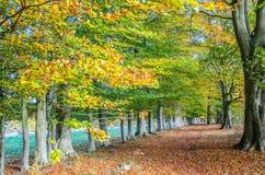 Allee von Buchen-Bäumen im Herbst Lizenzfreies Stockfoto