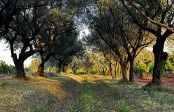 Allee von Olive Trees durch ein Rebyard Stockfotografie