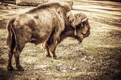 Alleen bizon Royalty-vrije Stock Afbeelding