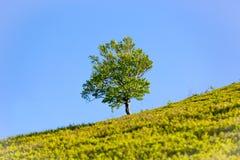 Alleen boom op groene heuvel stock foto's