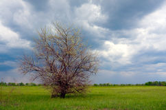 Alleen boom op weide Stock Afbeelding