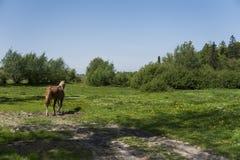 Alleen bruin paard op een ketting die op groen weiland met gele bloemen weiden tegen blauwe hemel en bomen farming royalty-vrije stock foto's