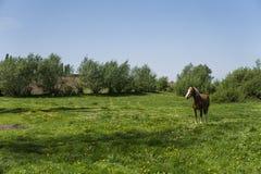 Alleen bruin paard op een ketting die op groen weiland met gele bloemen weiden tegen blauwe hemel en bomen farming royalty-vrije stock afbeeldingen