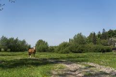 Alleen bruin paard op een ketting die op groen weiland met gele bloemen weiden tegen blauwe hemel en bomen farming stock afbeeldingen