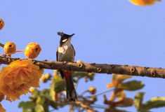 Alleen bulbulvogel Pycnonotidae stock foto's
