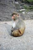 Alleen de zitting van de resusaap macaque Stock Afbeeldingen
