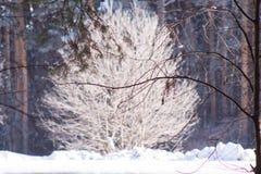 Alleen die boom met rijp in pijnboombos wordt behandeld Stock Afbeeldingen