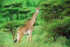 Alleen giraf onder acaciastruik royalty-vrije stock fotografie