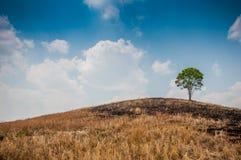 Alleen groene boom op de droge heuvel Stock Afbeeldingen