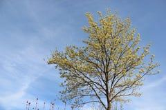 Alleen Het bloeien en Jonge Bladeren in de Lente royalty-vrije stock foto