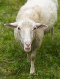 Alleen schapen Stock Foto