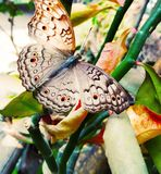 Alleen Vlinder royalty-vrije stock afbeeldingen