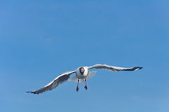 Alleen witte zeemeeuw die in de blauwe hemel vliegt Stock Fotografie