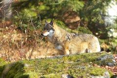 Alleen Wolf Royalty-vrije Stock Afbeeldingen