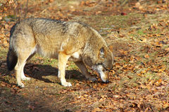 Alleen Wolf Royalty-vrije Stock Afbeelding