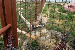 Alleen wolf in gevangenschap, omheining royalty-vrije stock foto