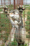 Alleen wolf in gevangenschap, omheining stock foto's