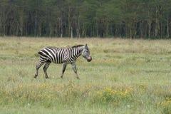 Alleen zebra Royalty-vrije Stock Afbeelding