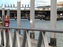 Alleen zeemeeuw in Darling Harbour, Sydney stock video