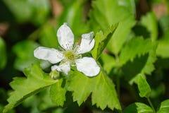 "Allegheniensis Rubus do †da flor de Allegheny Blackberry do "" fotos de stock royalty free"