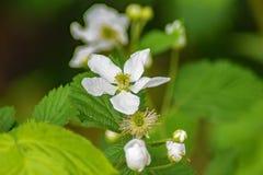 Allegheny Blackberry Flowers Rubus allegheniensis royalty free stock photo