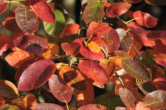 Allegheny Serviceberry Stock Photography