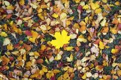 Allein gelbes Ahornblatt unter anderen farbigen Blättern Lizenzfreie Stockfotografie