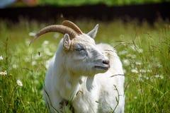 Allein männliche Ziege der Nahaufnahme im Fokus auf einem Hintergrund eines undeutlichen Kamillenfeldes und -wiese Stockfotos