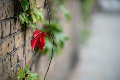 Allein natürliches rotes Blatt auf Backsteinmauer lizenzfreies stockfoto