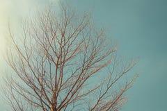 Allein oder einsamer getrockneter Baum und Niederlassungen im Tageslicht des Sommers saisonal lizenzfreies stockfoto
